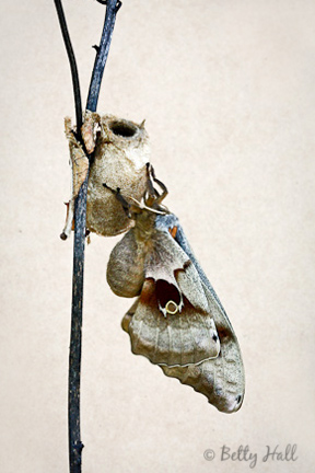Polyphemus moth just emerged from chrysalis