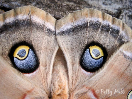 Close-up of eye spots on polyphemus hind wings