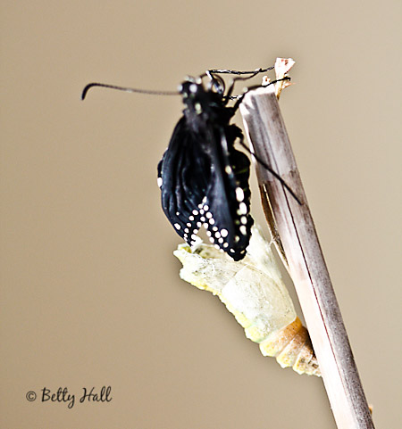 new black swallowtail butterfly just emerged from chrysalis