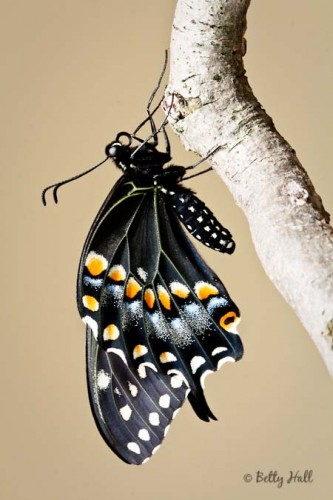 black swallowtail butterfly underwings