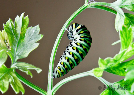 black swallowtail caterpillar preparing to form chrysalis