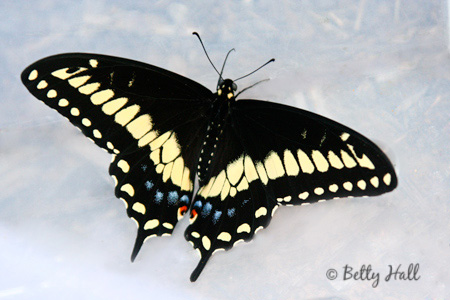 black swallowtail butterfly top wings