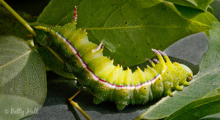 honey locust moth caterpillar