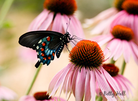 pipevine swallowtail (Battus philenor) on purple coneflowers (Echinacea purpurea)