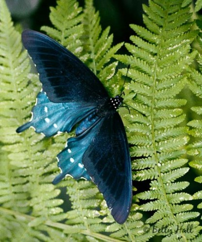 pipevine swallowtail butterfly (Battus philenor) on Kentucky native Lady Frn (Athryium felix-femina)