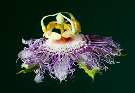 passion flower blossom (Passiflora incarnata), a native Kentucky vine