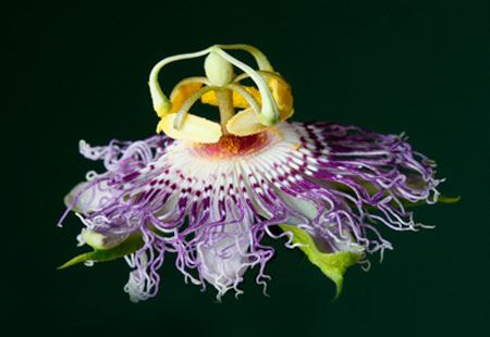 passion flower blossom (Passiflora incarnata), a native Kentucky vine