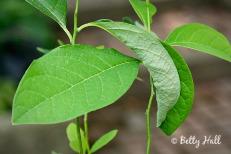 Spicebush leaf folded in half by spicebush swallowtail caterpillar