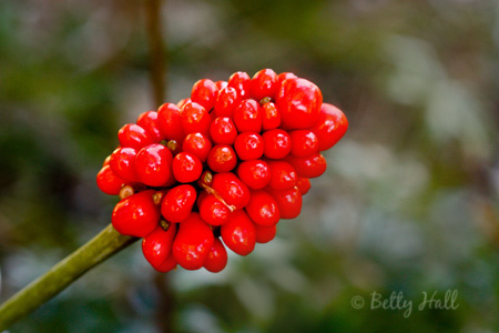 jack-in-the-pulpit (Arisaema triphyllum) seed pods