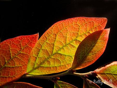 blueberry (Vaccinium simulatum) leaves