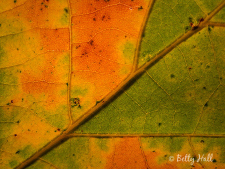 bur oak (Quercus macrocarpa) leaf close-up