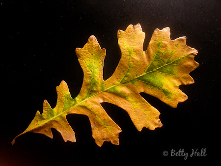 bur oak (Quercus macrocarpa) leaf