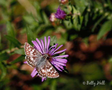 common-checkered skipper (Pyrgus communis)
