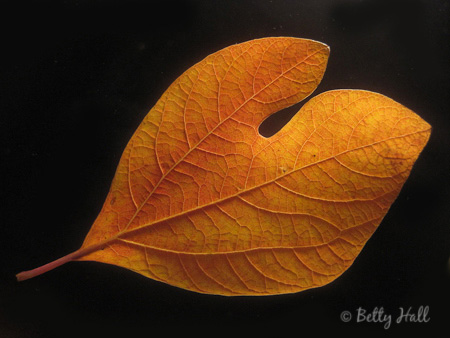 sassafras (Sassafras albidum) leaf