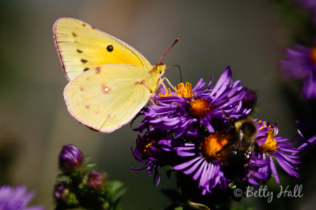orange sulphur butterfly (Colias eurytheme) on New England Aster