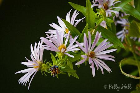 aromatic aster (Aster oblongifolius)