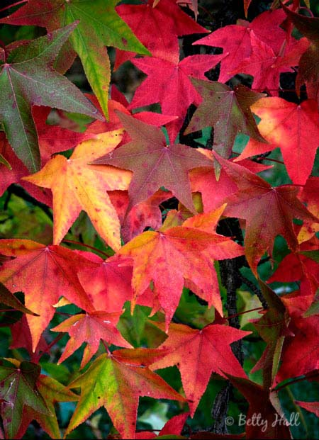 sweet gum leaves (Liquidambar styraciflua)