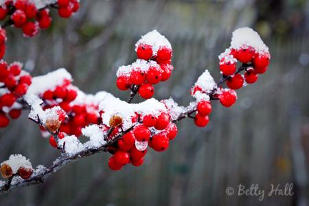 winterberries and snow (Ilex verticulata)