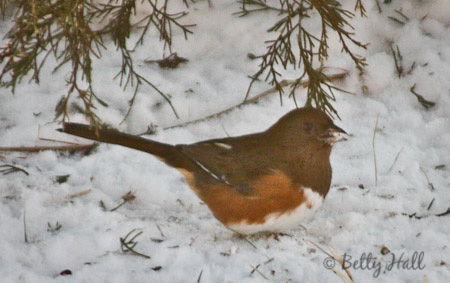 also known as Rufous-sided towhee