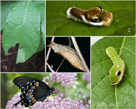 Papilio troilus life cycle