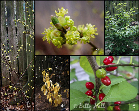a native Kentucky shrub that's great for landscaping