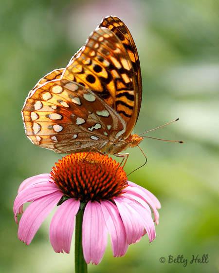 Speyeria cybele butterfly