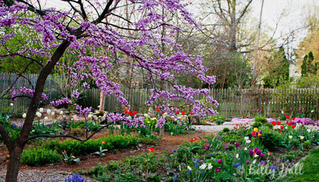Redbud (cercis canadensis) and tulips