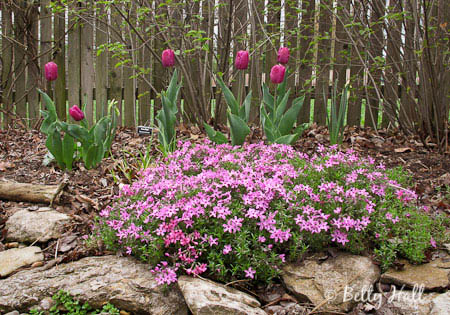 creeping phlox (Phlox sublata)