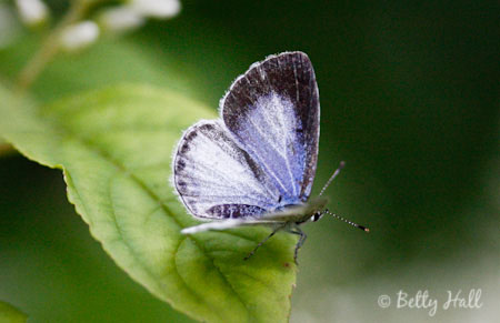 (Celastrina neglecta)) with wings open