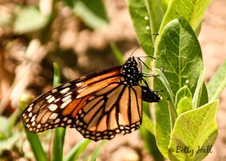 monarch butterfly (Danaus plexippus)  laying eggs in Kentucky backyard