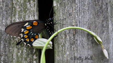 Pipevine Swallowtail butterfly (Battus philenor) - a native Kentucky butterfly