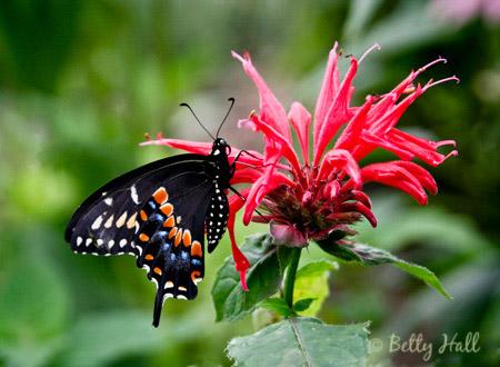 Black Swallowtail (Papilio polyxenes) on Scarlet Bee Balm (Monarda didyma)