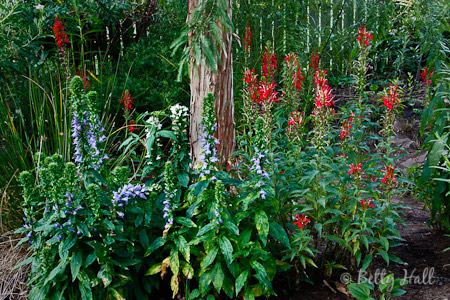 Cardinal flower (Lobelia cardinalis) and Great Blue Lobelia (Lobelia siphilitica).
