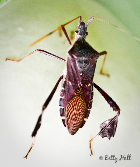 Leaf-footed Bug (Leptoglossus oppositus)