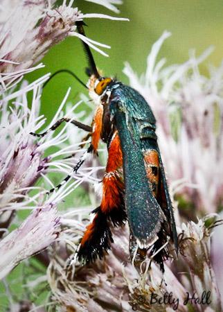 Squash Vine Borer Moth (Melittia cucurbitae)