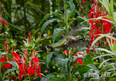 Ruby-throated Hummingbird  ( Arcchilochus colubris) & Cardinal Flower (Lobelia cardinalis)