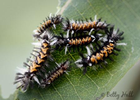 Milkweed Tussock Moth caterpillars on common milkweed leaf