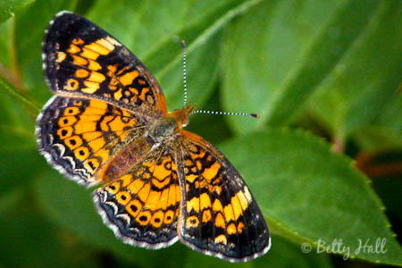 Adult Pearl Crescent (Phyciodes tharos) butterfly