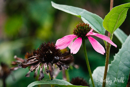 Purple--coneflower (Echinacea purpurea) -and-seedhead
