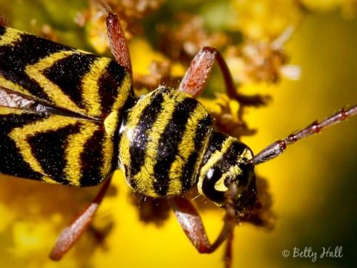 Megacyllene robinae close-up