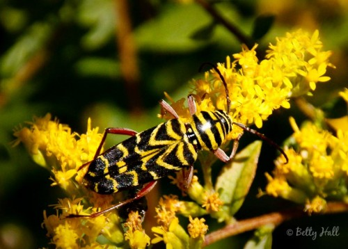 Black Locust Borer, Megacyllene robiniae on Rough-leaved Goldenrod, Solidago rugosa