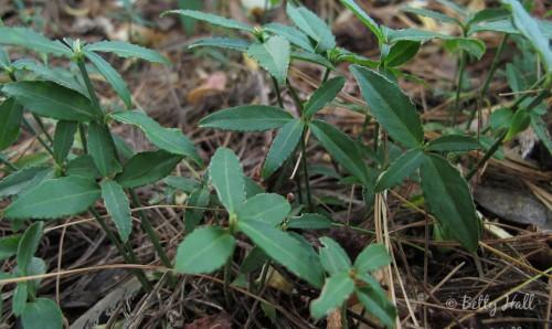 Euonymus-americanus-seedlings