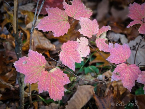 Autumn leaves of Viburnum acerfolium