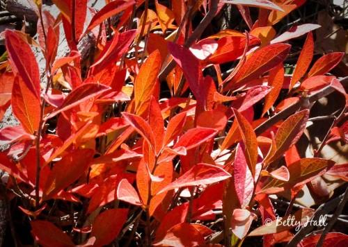 autumn vaccinium leaves