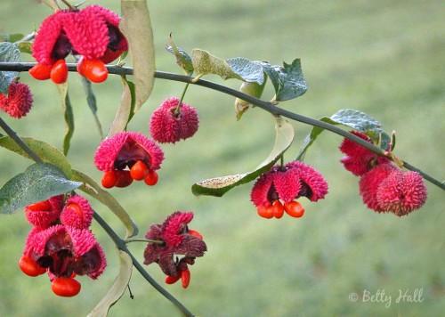 Euonymous americanus seed-pods