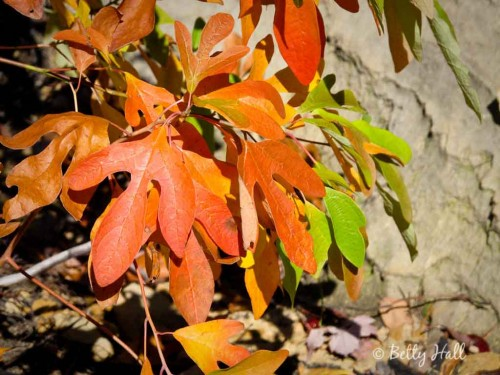 autumn sassafras albidum leaves