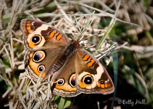 Junonia coenia - Lexington, Kentucky