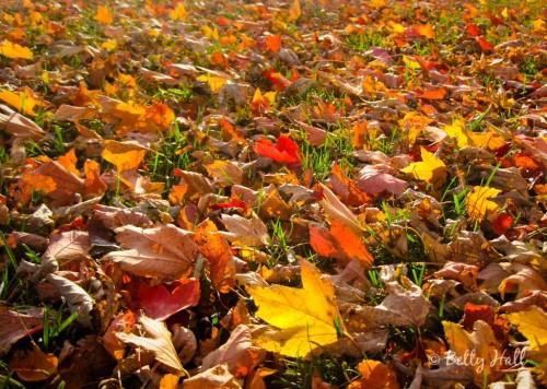 Acer rubrum leaves on ground