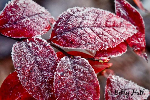 Vaccinium corymbosum leaves and frost