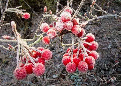 Aronia arbutifolia fruit and frost